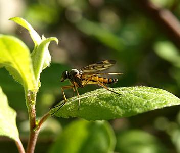 insecte, mosquit, tancar