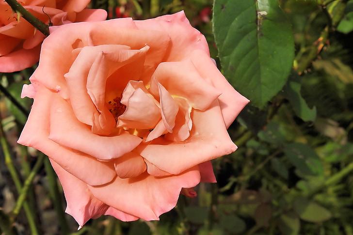 Rosa, flor rosa, Rosa, rosa Rosa
