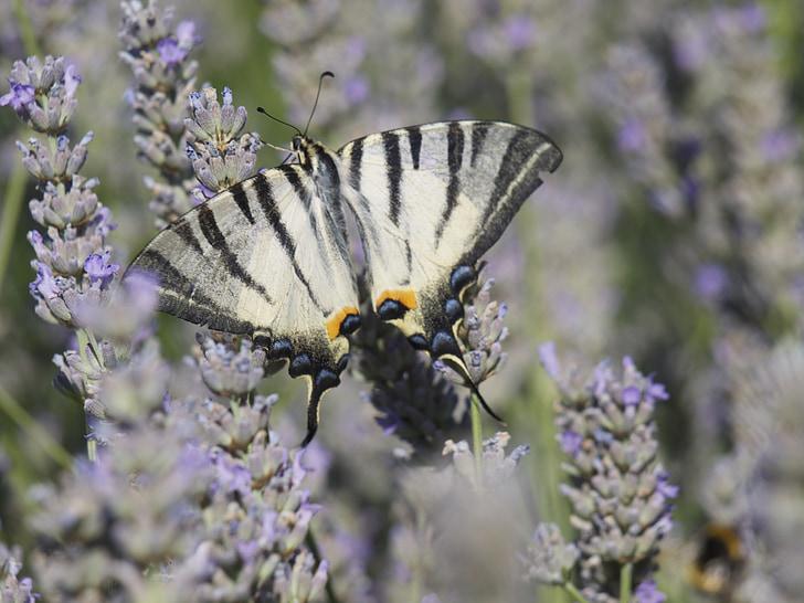 Levanda, drugelis, kvepiančių augalų