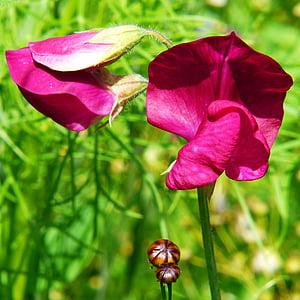 gruntów rolnych wyka, Wyka, kwiat łąka, kwiaty, fioletowy, Natura