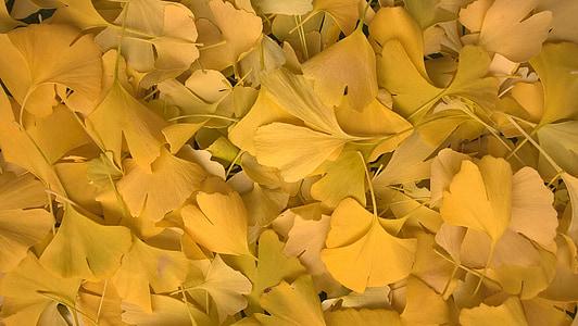 ginko, leaves, yellow, autumn, golden autumn, fall foliage