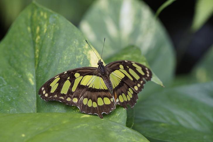 Malachitas drugelis, sparnas, skleisti, lapų, sėdėti, drugelis, atogrąžų