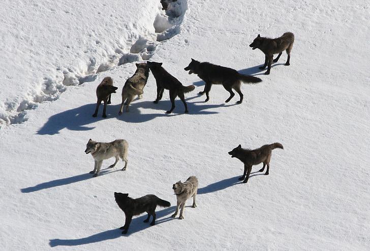 wolves, wolf pack, canis lupus, predator, carnivora, pack animal, winter