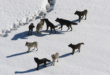 wolves, wolf pack, canis lupus, predator, carnivora, pack animal, winter