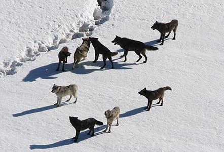 вълци, вълк пакет, Canis lupus, Хищникът, хищници, Вързоп животно, зимни
