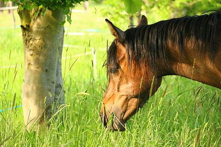 konj, smeđe plijesni, čistokrvni arapski, konjsku glavu, pašnjak, pferdeportrait, životinja