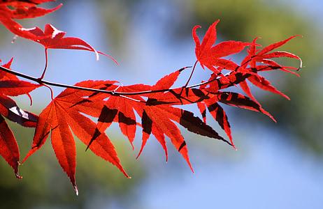 κόκκινο, φύλλα, πτώση, το φθινόπωρο, φθινοπωρινά φύλλα, φύλλο σφενδάμου, πορτοκαλί