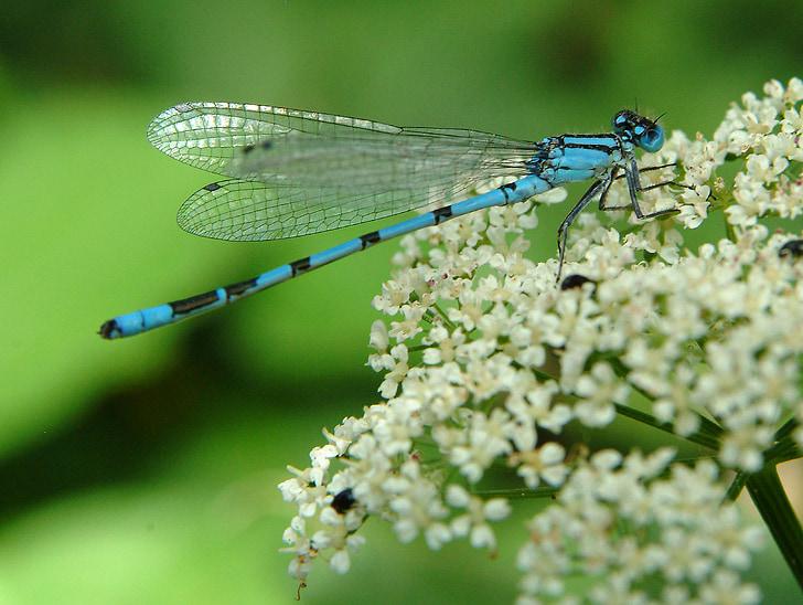 бабка, синій, Комаха, закрити, політ комах, крило, макрос