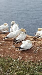 Helgoland, Roca, Mar del nord, illa de mar, paisatge, Lummen, sentiments