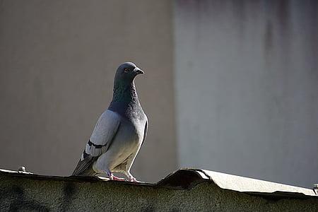 vták, holub, zviera, zvieratá, pero, zameraním, mesto