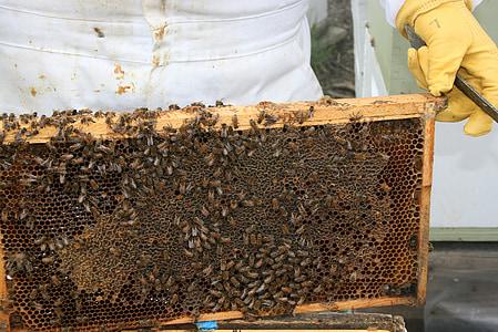 insecte, abella, mel, bresca, rusc, apicultor, abella de la mel