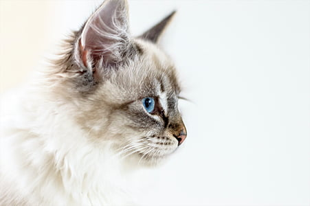 cat, young cat, kitten, animal, eye, pets, domestic Cat