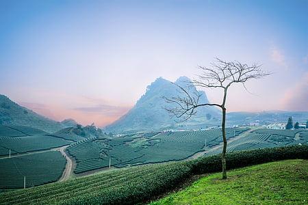 moc chau tea doi, moc chau hill, heart tea plantation, continental painted wood la, agriculture, landscape, rural scene