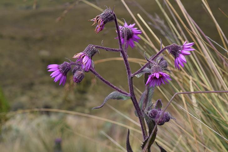 porpra, flor, natura, Margarida, salvatge, flors silvestres, flors violetes