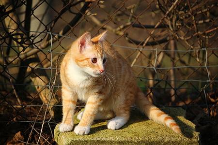 cat, kitten, mackerel, red mackerel tabby, red cat, tiger cat, mieze