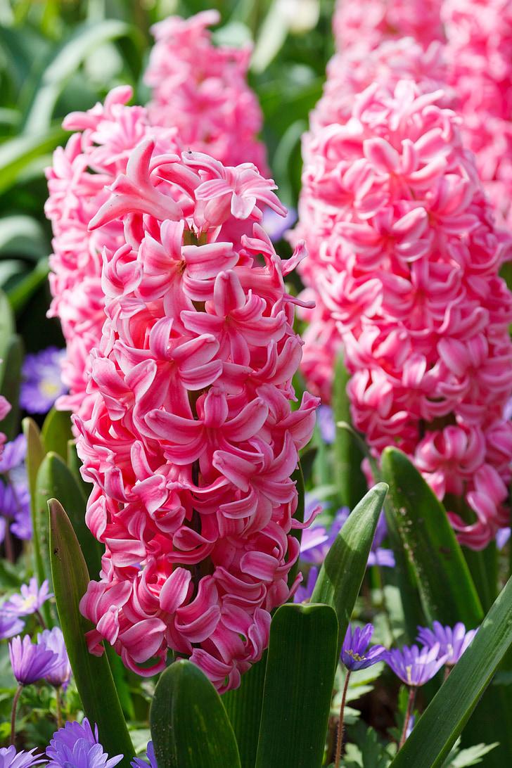 Jacint, flora, Rosa, verd, floral, flor, flors