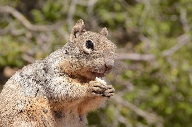 squirrel, mammal, wildlife, rodent, rock squirrel, spermophilus variegatus