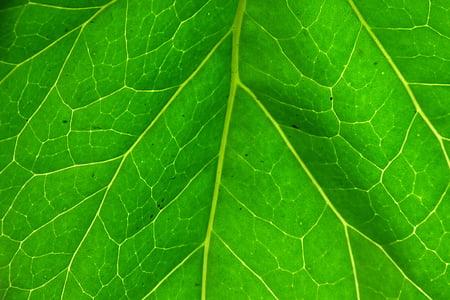 Leaf, tmavozelená, rastlín, Zelená, Zelená, podsvietenie, Príroda