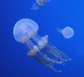 meduses, oceà, vida aquàtica, animal, tentacles, verinós, Mar profund