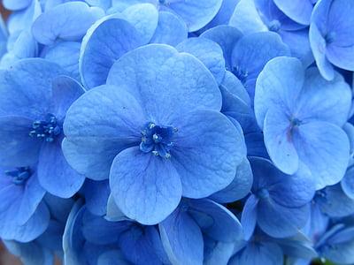 Hortènsia, flor, blau, estams, flor, pètal