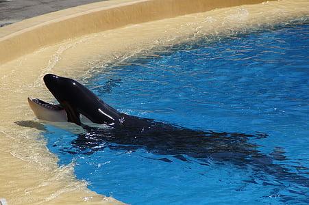 orka, späckhuggare, Killer, tiggeri, foten, tand, pool
