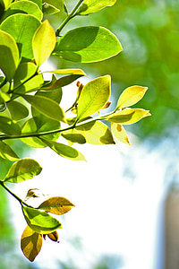listy, zelené listy, Príroda, strom, mawanella, Ceylon, Srí lanka