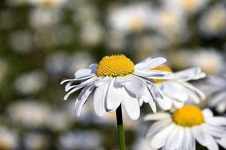 Margarida, camp de margarides, groc, l'estiu, flor, flor, bonica