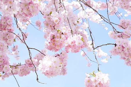 cirerers japonès, cirera ornamental, arbre de flor, flor del cirerer, Rosa, flor, flor