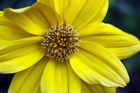 bidens frondosa, kollane lill, meede, tolmukate, kroonlehed, kollane tähendab, Lähis Joonis