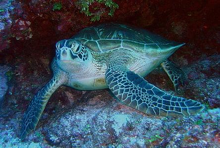 zelena morska želva, morje, Ocean, vode, Podvodni, morje-življenje, makro