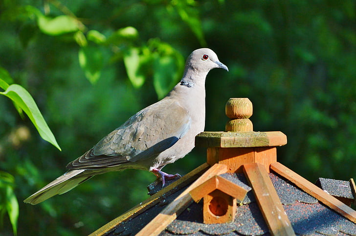 dove, bird, collared, nature, city pigeon, poultry, wing