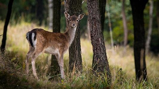 휴 경지 사슴, dama dama, 여성, 트리, 숲, 자연, 태양