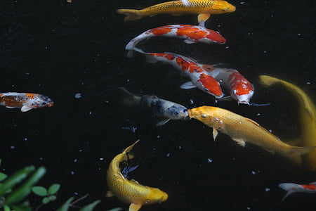 carpa, Japó, estil japonès, peix, LB, decoració