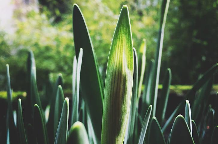 taim, kevadel, kasvu, idanemist, roheline, värske, lihavõtted