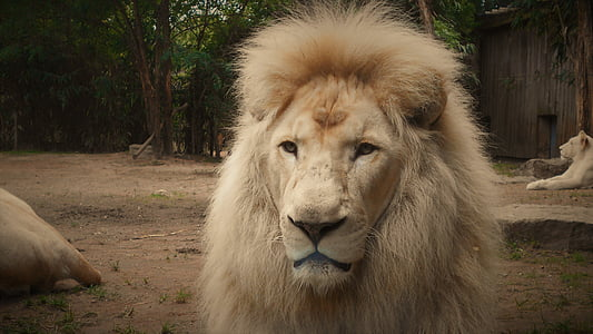lion, white lion, mane, zoo, lion - Feline, wildlife, africa