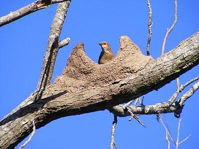 bird, rufous hornero, nest, mud, sky, blue, brown