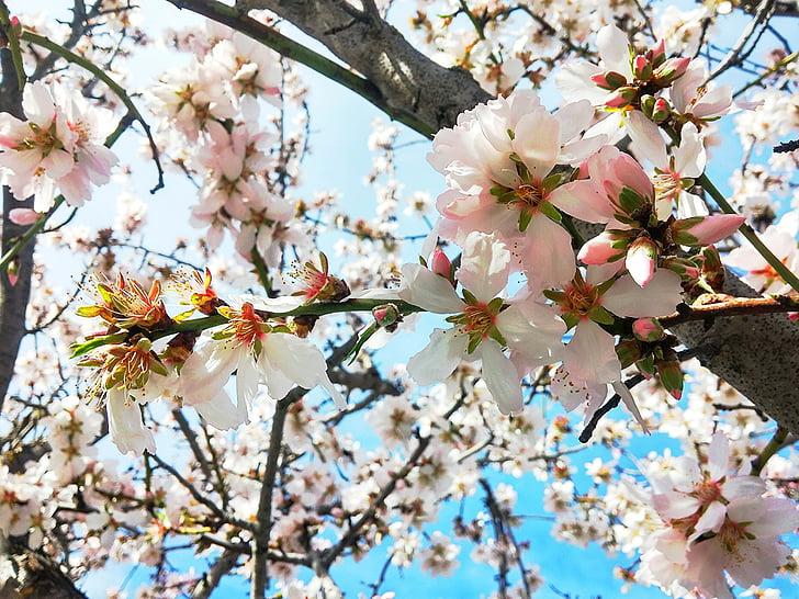 vyšnių gėlės, natūralus, gėlė