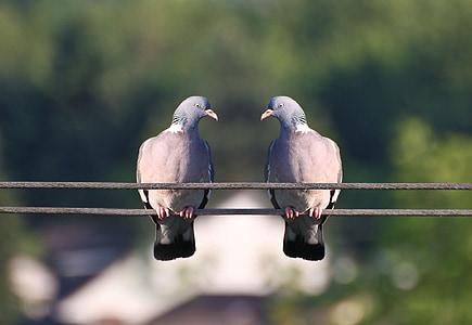 Linnut, kyyhkyt, sulka, Bill, lintu, siipikarjan, pari