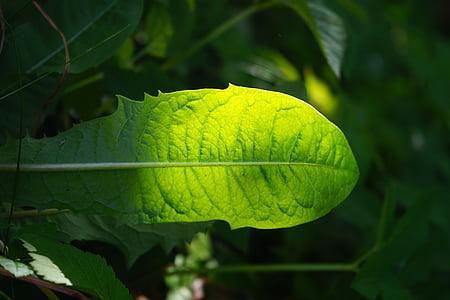dente di Leone, foglia, verde, brillare attraverso, sfumature di verde, luce, verde chiaro