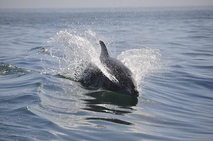 Dolphin, havet, djur, simma, däggdjur, djur, vilda djur