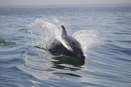 Dauphin, mer, animaux, nager, mammifère, animal, faune