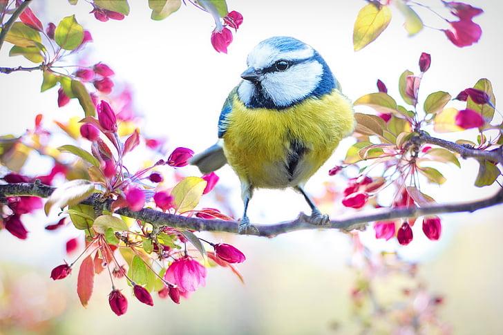 madár tavaszi, madár, tavaszi, kék, virágzó fa, természet, fióktelep