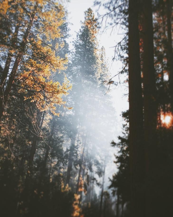 høj, træer, dagtimerne, efterår, skov, træ, Fir