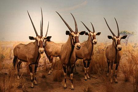Chamois, sở thú, Thiên nhiên, động vật, đóng