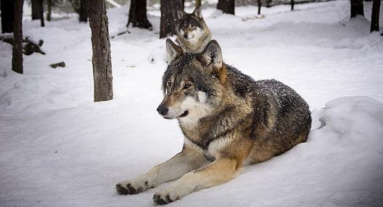 llops, neu, predadors, llop, l'hivern, zoològic, mengen carn