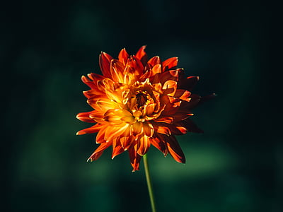 selectiva, enfocament, fotografia, taronja, crisantem, flor, natura