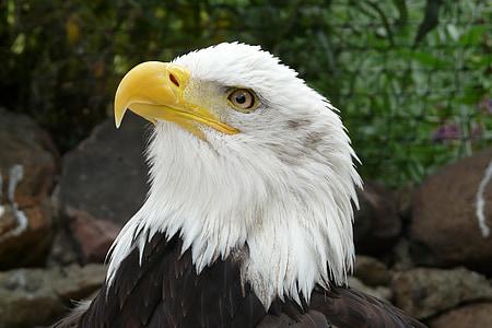 kalju kotkien, Raptor, vaakunaeläin, muotokuva, kalju kotka, Eagle - lintu, lintu