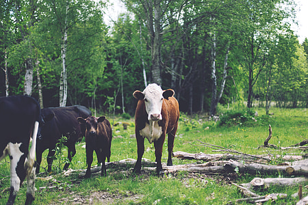 animals, cows, cattle, livestock, domestic, farm, nature