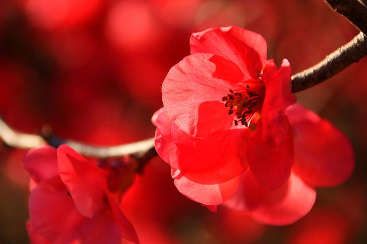 japanese flowering crabapple, winter, sun, nature, outdoor, forest, blossom