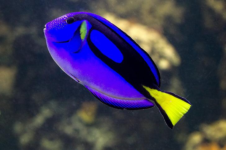 ปลา, ปลาทะเล, สีฟ้า, ปลาปะการัง, โดริ